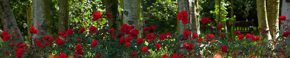Header - Rose Garden